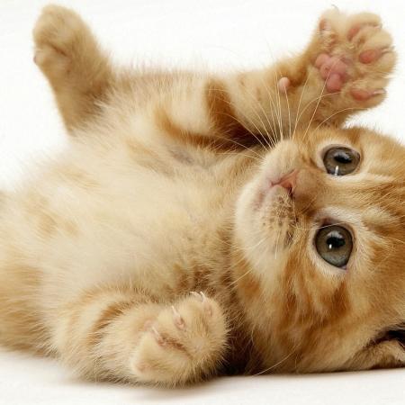فروش انواع گربه میکون