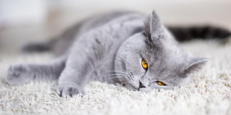 قیمت گربه بریتیش