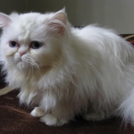 گربه پرشین سفید چشم ابی