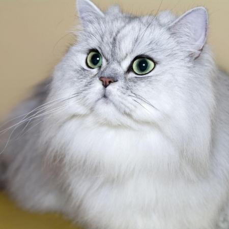 خرید و فروش انواع گربه پرشین