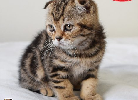 خرید و فروش گربه اسکاتیش فولد