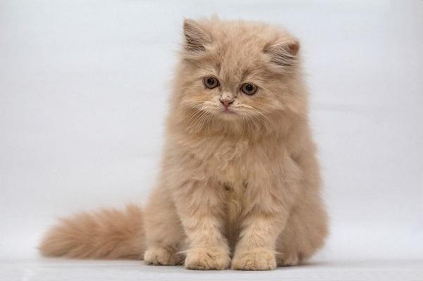 گربه پرشین عروسکی