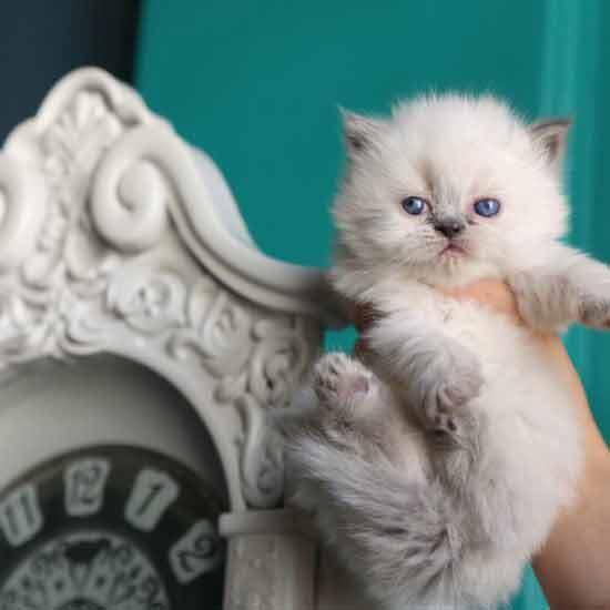 گربه پرشین بلو
