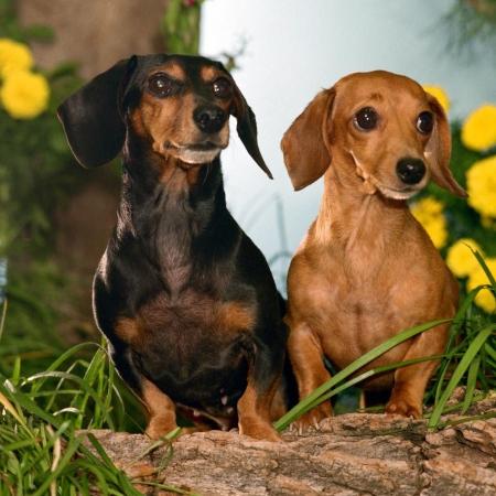 خرید و فروش سگ داشهوند یا سگ سوسیسی