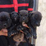 فروش انواع سگ کن کورسو
