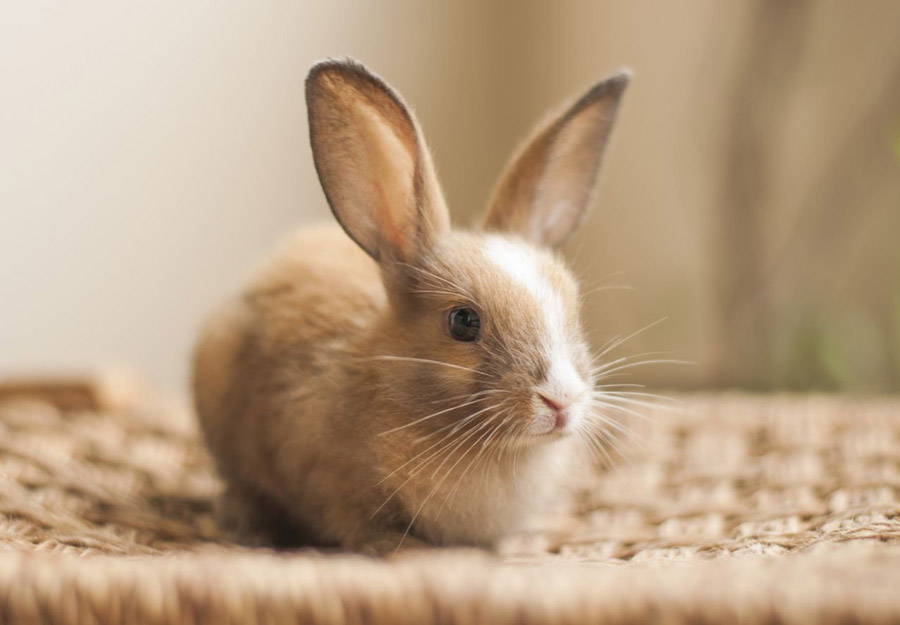 خرید و فروش انواع خرگوش