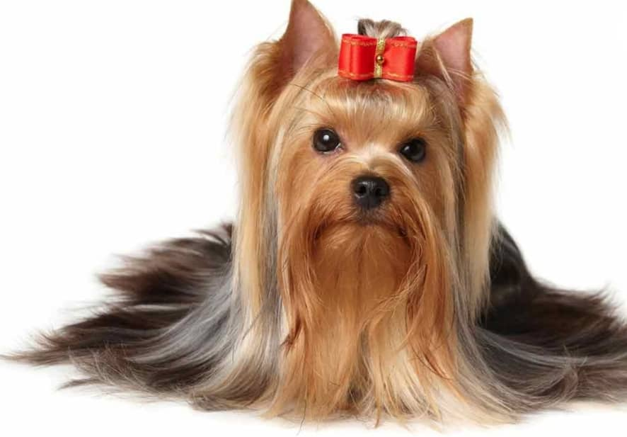 سگ یورکشایر عروسکی