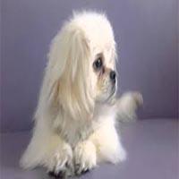 توله سگ پیکینیز